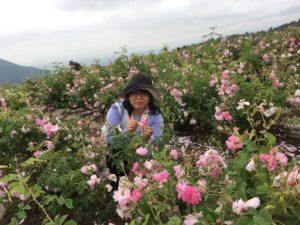 ローズ畑で花摘み