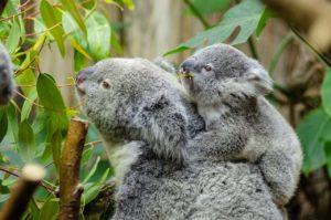 ユーカリを食べるコアラ