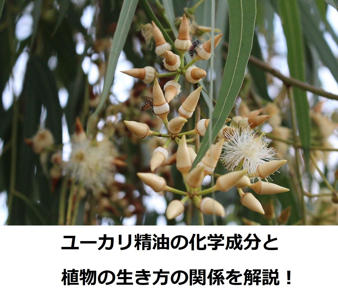 ユーカリ精油の化学と植物の生き方を解説